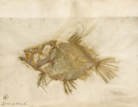 Pressed fish specimen (Zeus faber) collected by Carl Linnaeus, 1758