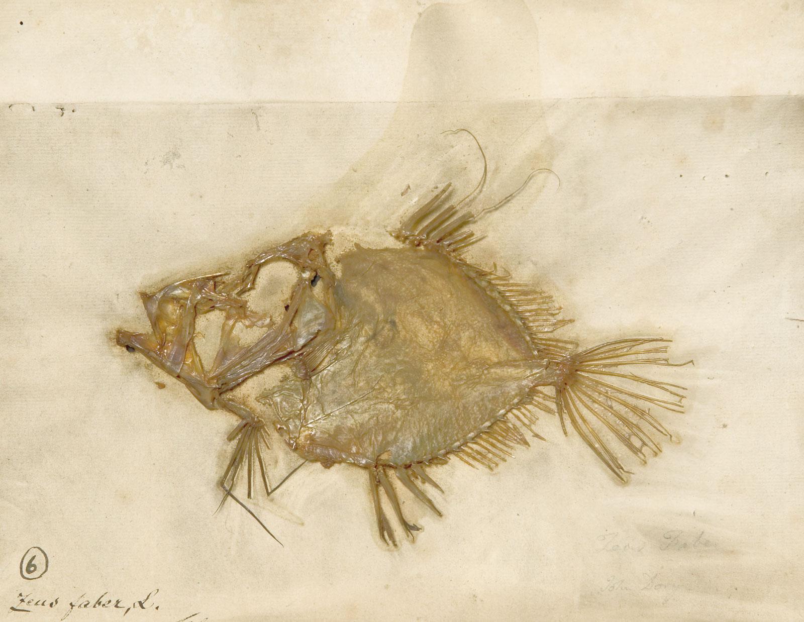 Pressed fish specimen (<em>Zeus faber</em>) collected by Carl Linnaeus, 1758