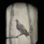 Can We Bring Back the Passenger Pigeon?