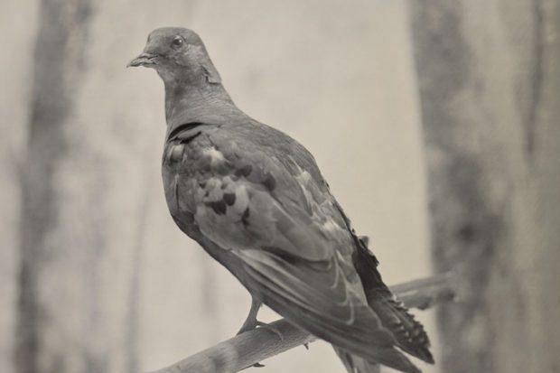 passenger-pigeon-detail