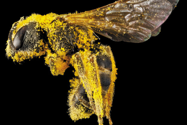 A sweat bee (<i>Halictus ligatus</i>) coated with pollen, 2013; digital composite photograph from the USGS Bee Inventory and Monitoring Lab's catalog of native bees. It appears in the book <i>Animal: Exploring the Zoological World</i>, just published by