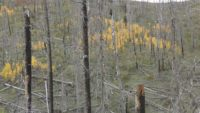 Young aspen trees