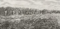 A drawing of a sugar cane field in South Carolina, by Edouard Riou, late nineteenth century