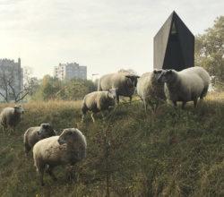Sheep grazing in Saint-Denis, Paris, November 2018