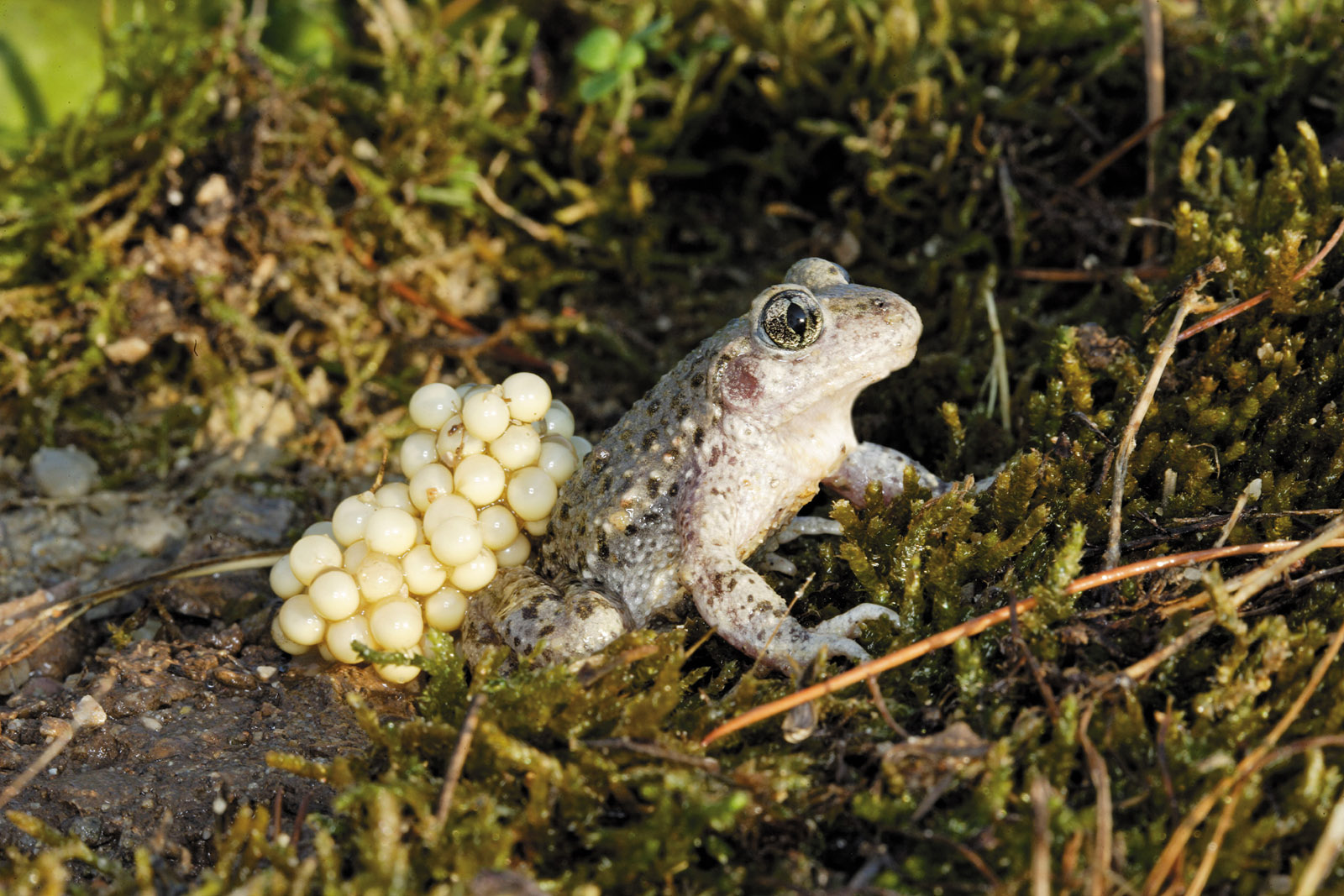 Toad carrying eggs on its back