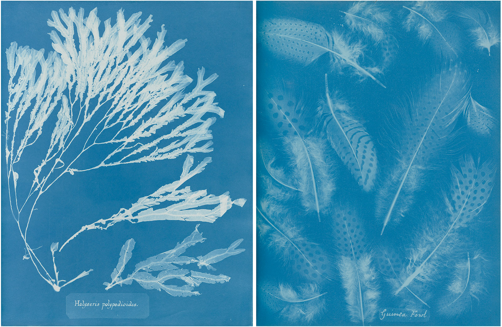 Two cyanotypes by Anna Atkins