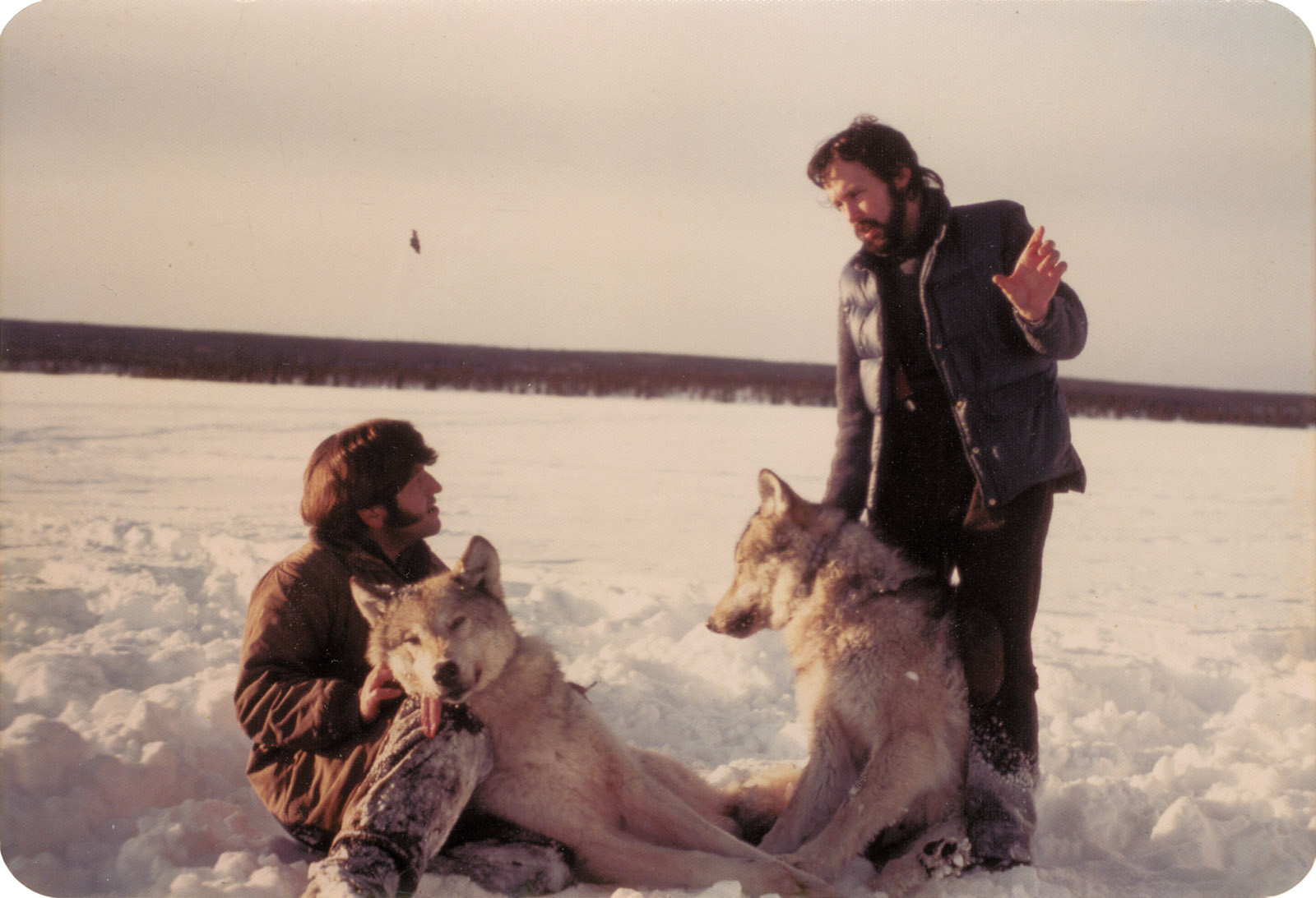 Barry Lopez putting radio collars on sedated wolves with the biologist Robert Stephenson, Nelchina Basin, Alaska, March 1976