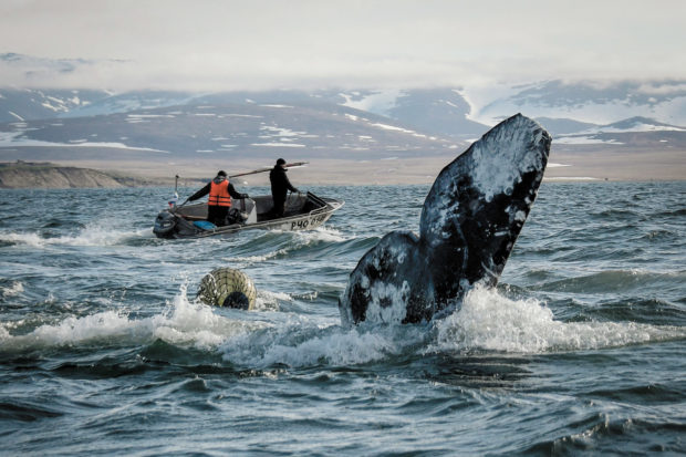 Chukchi hunting a gray whale in the Bering Sea, Chukotka, Russia, June 2018