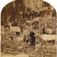 One half of a stereographic souvenir card from the 1876 Centennial International Exhibition in Philadelphia showing a display of the naturalist Martha Maxwell's wildlife specimens, with Maxwell seated at the center