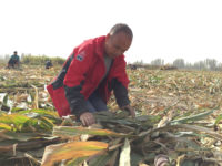 Yuan Ling in Xinjiang helping harvest corn at a family he interviewed for his book Silent Children, undated