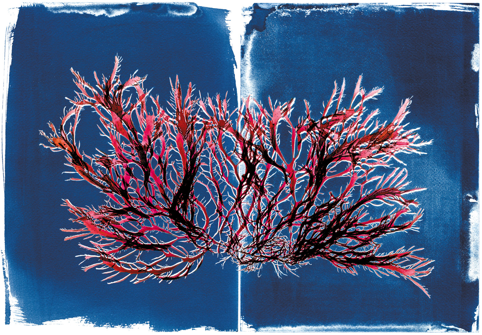 Pikea californica; scan overlaid on cyanotype from the book The Curious World of Seaweed