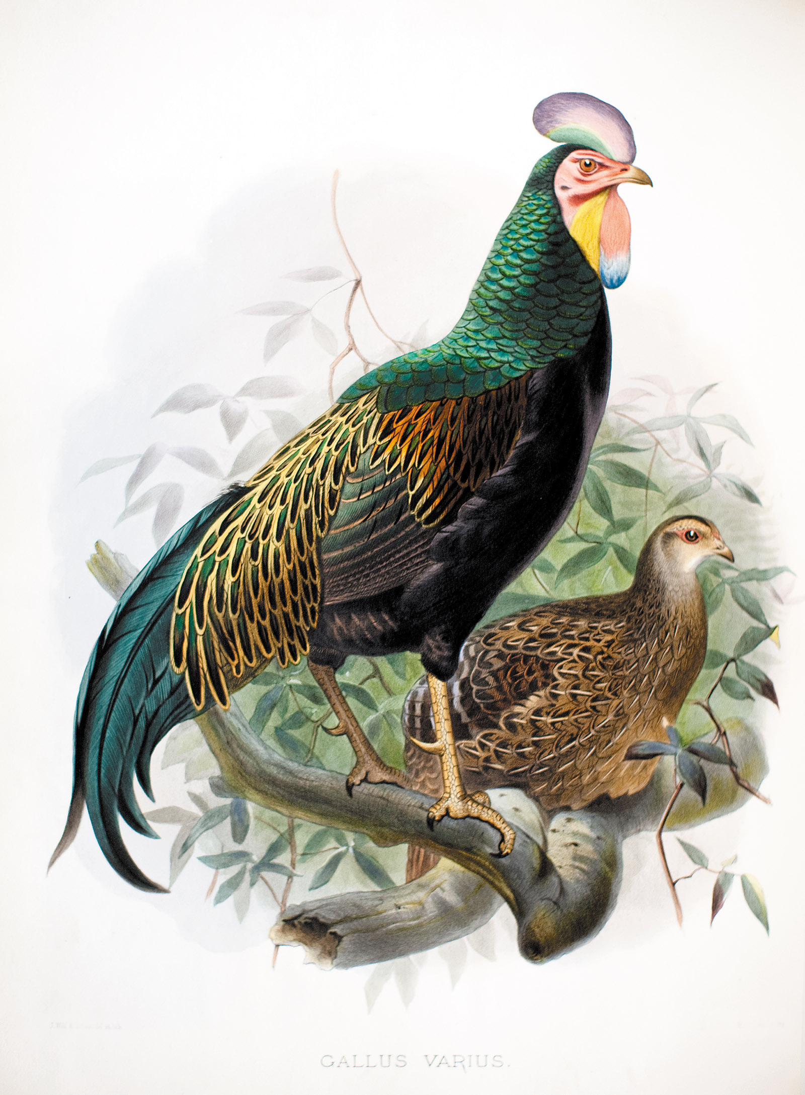 The green jungle fowl; colored lithograph from A Monograph of the Phasianidae, or Family of the Pheasants by Daniel Giraud Elliot