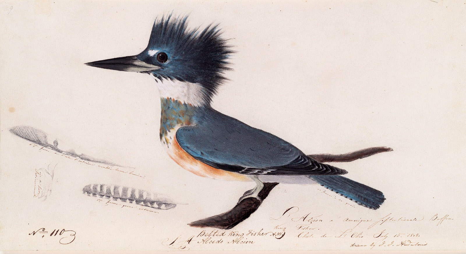 A belted kingfisher; painting by John James Audubon