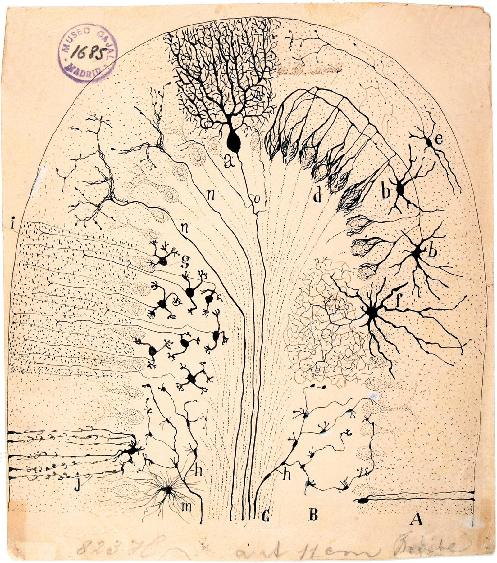 Diagram of the cerebellum by Santiago Ramón y Cajal, 1894