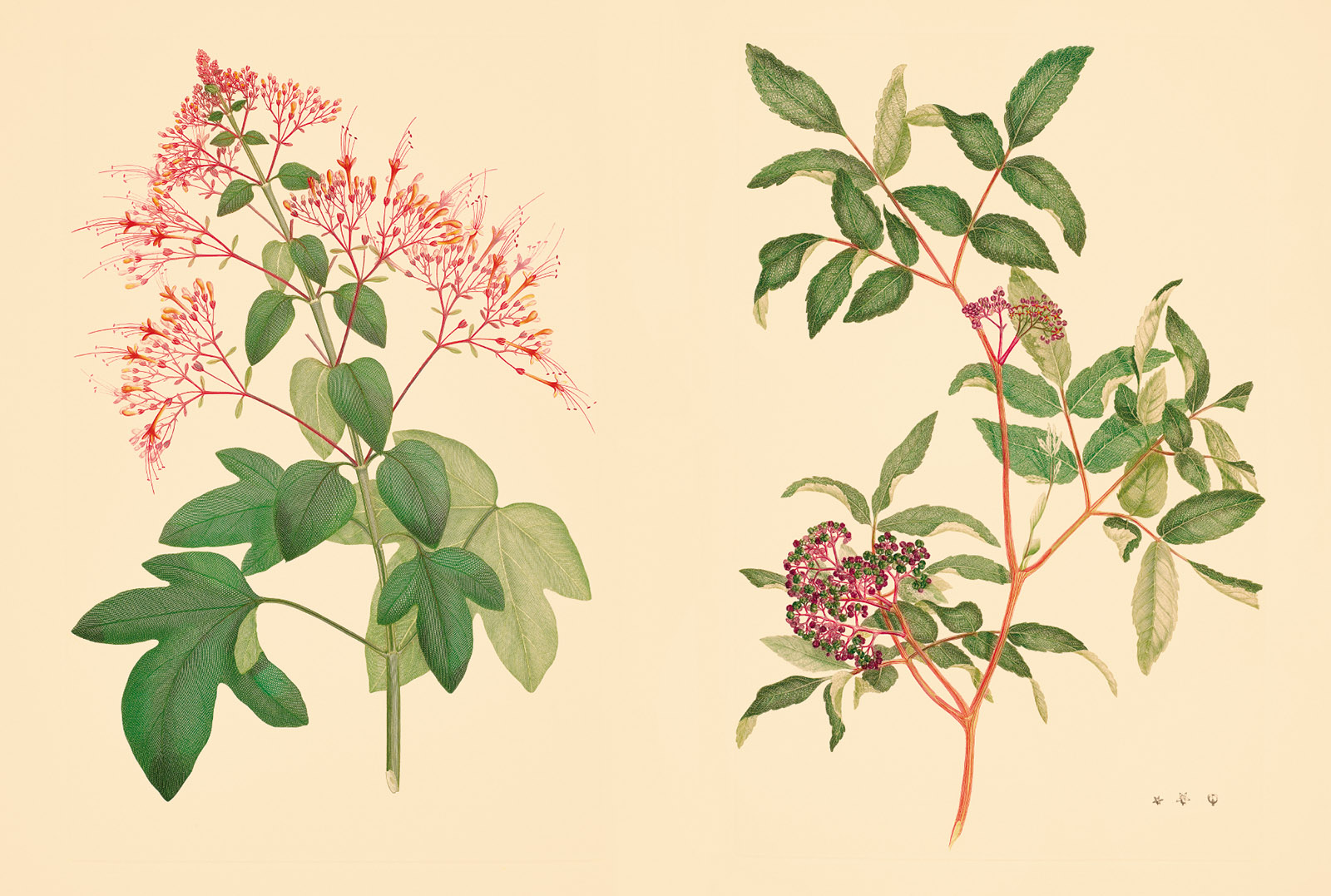 Engravings of Clerodendrum paniculatum and Leea rubra, two of the plants originally drawn by Sydney Parkinson in Java during the Endeavour expedition
