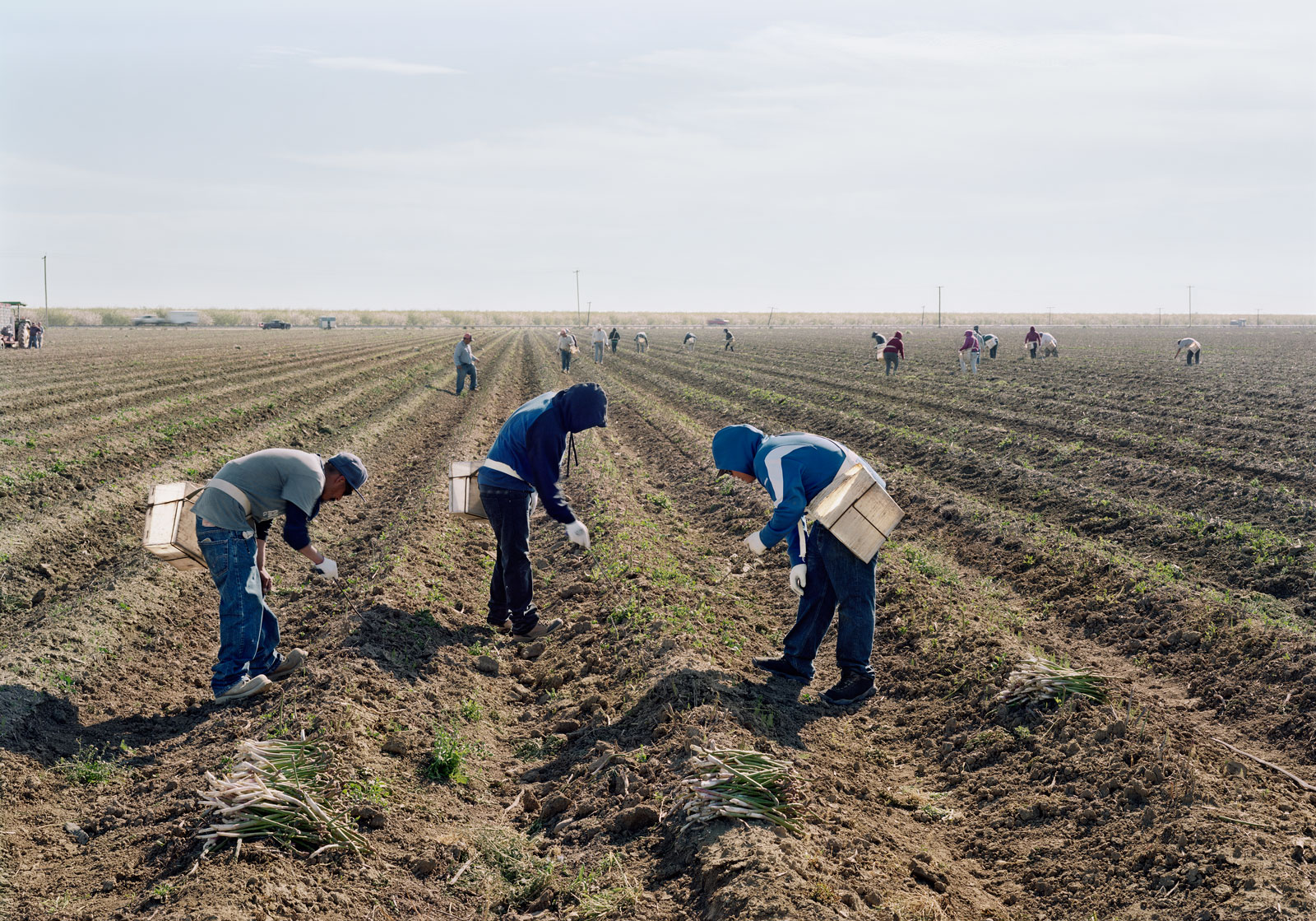 Migrant workers bent down in a field