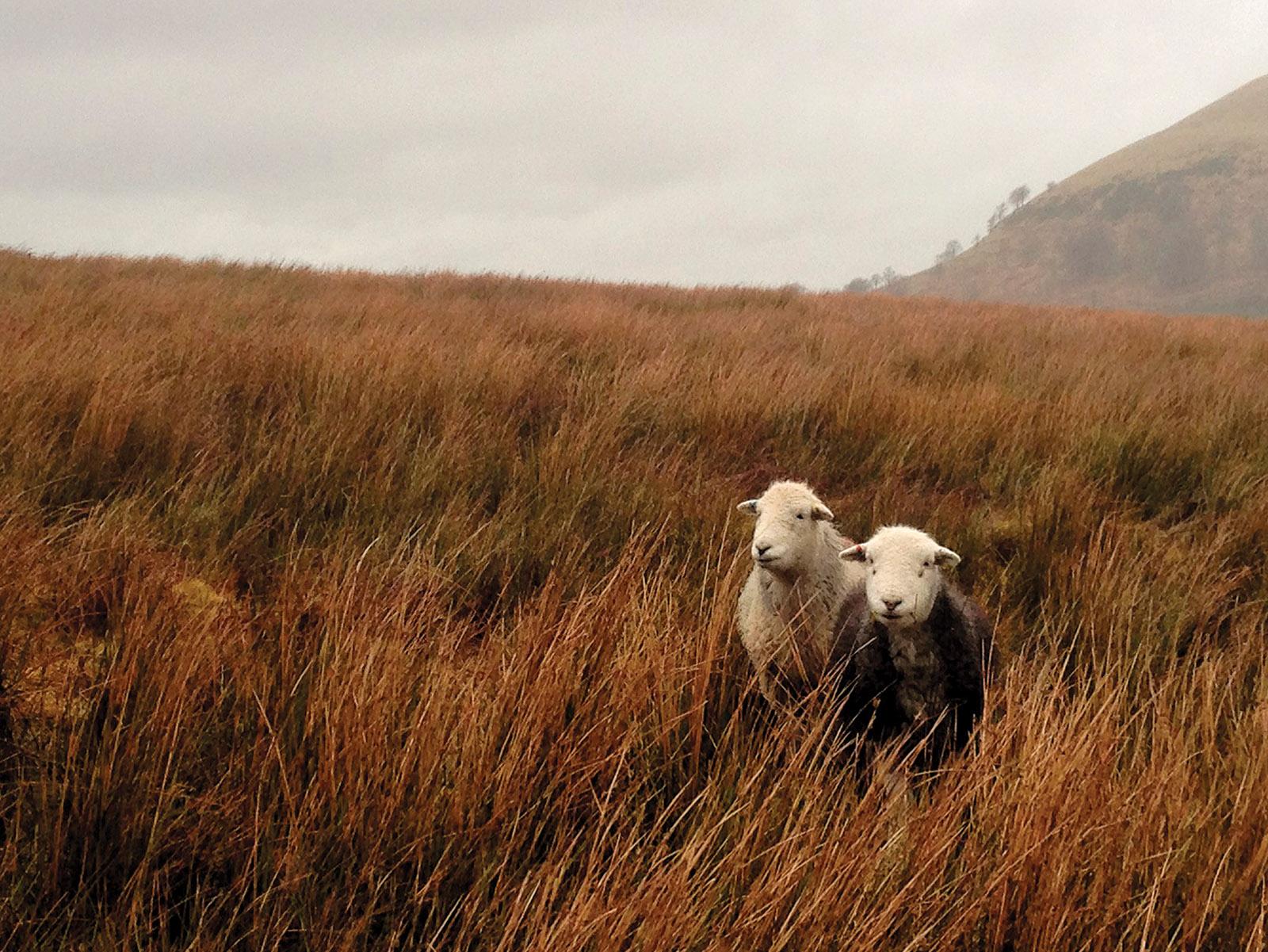 James Rebanks's Herdwick sheep